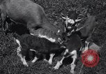 Image of goat kids United States USA, 1936, second 12 stock footage video 65675038319