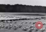 Image of swarm of ducks Uzbekistan Soviet Union, 1949, second 8 stock footage video 65675038603