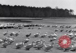 Image of swarm of ducks Uzbekistan Soviet Union, 1949, second 9 stock footage video 65675038603