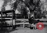 Image of California Ostrich farm Los Angeles California USA, 1916, second 2 stock footage video 65675040389