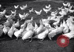 Image of chicken beauty pageant Petaluma California USA, 1947, second 1 stock footage video 65675040927