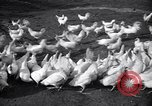 Image of chicken beauty pageant Petaluma California USA, 1947, second 2 stock footage video 65675040927