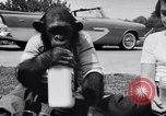 Image of Chimpanzee Encino California USA, 1956, second 9 stock footage video 65675040951