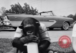 Image of Chimpanzee Encino California USA, 1956, second 12 stock footage video 65675040951