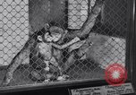 Image of Baby chimpanzee London England United Kingdom, 1936, second 10 stock footage video 65675041290