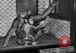 Image of Baby chimpanzee London England United Kingdom, 1936, second 12 stock footage video 65675041290