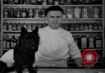 Image of Scottish Terrier New York City USA, 1936, second 11 stock footage video 65675041299