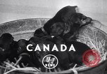 Image of Doberman Pinscher Vancouver British Columbia Canada, 1947, second 2 stock footage video 65675041344