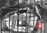 Image of leopards Los Angeles California USA, 1933, second 10 stock footage video 65675042746