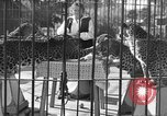Image of leopards Los Angeles California USA, 1933, second 11 stock footage video 65675042746