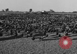 Image of turkeys Pomona California USA, 1934, second 5 stock footage video 65675042750