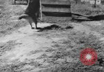 Image of German Shepard dog Vietnam, 1967, second 6 stock footage video 65675043045