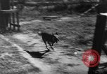 Image of German Shepard dog Vietnam, 1967, second 9 stock footage video 65675043045