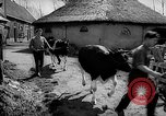 Image of Cattle released Holland Netherlands, 1959, second 7 stock footage video 65675043374