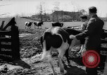Image of Cattle released Holland Netherlands, 1959, second 11 stock footage video 65675043374