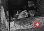 Image of hen with kittens Lepanto Arkansas USA, 1934, second 2 stock footage video 65675044370