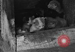 Image of hen with kittens Lepanto Arkansas USA, 1934, second 3 stock footage video 65675044370