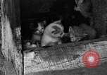 Image of hen with kittens Lepanto Arkansas USA, 1934, second 4 stock footage video 65675044370