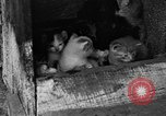Image of hen with kittens Lepanto Arkansas USA, 1934, second 5 stock footage video 65675044370