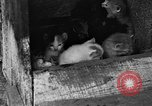 Image of hen with kittens Lepanto Arkansas USA, 1934, second 6 stock footage video 65675044370