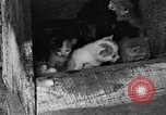 Image of hen with kittens Lepanto Arkansas USA, 1934, second 7 stock footage video 65675044370