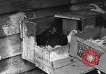 Image of hen with kittens Lepanto Arkansas USA, 1934, second 8 stock footage video 65675044370
