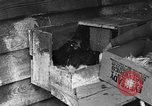 Image of hen with kittens Lepanto Arkansas USA, 1934, second 10 stock footage video 65675044370