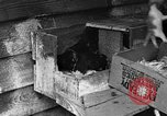 Image of hen with kittens Lepanto Arkansas USA, 1934, second 11 stock footage video 65675044370