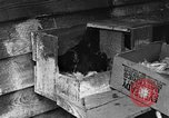 Image of hen with kittens Lepanto Arkansas USA, 1934, second 12 stock footage video 65675044370