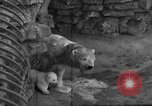 Image of polar bear cub Milwaukee Wisconsin USA, 1934, second 3 stock footage video 65675046052