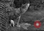 Image of polar bear cub Milwaukee Wisconsin USA, 1934, second 9 stock footage video 65675046052
