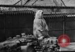 Image of polar bear cub Milwaukee Wisconsin USA, 1934, second 10 stock footage video 65675046052