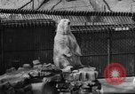 Image of polar bear cub Milwaukee Wisconsin USA, 1934, second 11 stock footage video 65675046052