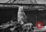 Image of polar bear cub Milwaukee Wisconsin USA, 1934, second 12 stock footage video 65675046052