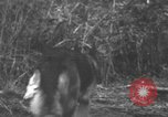 Image of fighting dog Bougainville Island Papua New Guinea, 1944, second 1 stock footage video 65675046502