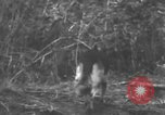 Image of fighting dog Bougainville Island Papua New Guinea, 1944, second 2 stock footage video 65675046502