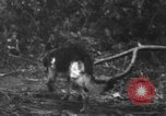 Image of fighting dog Bougainville Island Papua New Guinea, 1944, second 11 stock footage video 65675046502