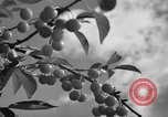 Image of cherry festival Traverse City Michigan USA, 1939, second 6 stock footage video 65675046712