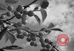 Image of cherry festival Traverse City Michigan USA, 1939, second 7 stock footage video 65675046712