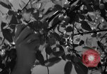 Image of cherry festival Traverse City Michigan USA, 1939, second 12 stock footage video 65675046712