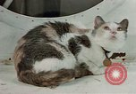 Image of behavior of cats United States USA, 1957, second 12 stock footage video 65675047224
