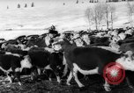 Image of herd of cattle Canada, 1959, second 10 stock footage video 65675047257