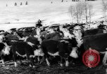 Image of herd of cattle Canada, 1959, second 11 stock footage video 65675047257