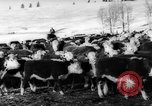 Image of herd of cattle Canada, 1959, second 12 stock footage video 65675047257