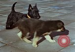 Image of Adolf Hitler's dogs Berchtesgaden Germany, 1940, second 2 stock footage video 65675047969