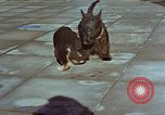 Image of Adolf Hitler's dogs Berchtesgaden Germany, 1940, second 5 stock footage video 65675047969