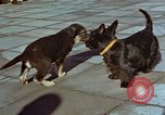 Image of Adolf Hitler's dogs Berchtesgaden Germany, 1940, second 9 stock footage video 65675047969