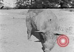 Image of domestic pig Tennessee United States USA, 1940, second 1 stock footage video 65675050019