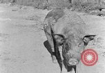 Image of domestic pig Tennessee United States USA, 1940, second 2 stock footage video 65675050019