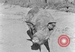 Image of domestic pig Tennessee United States USA, 1940, second 3 stock footage video 65675050019